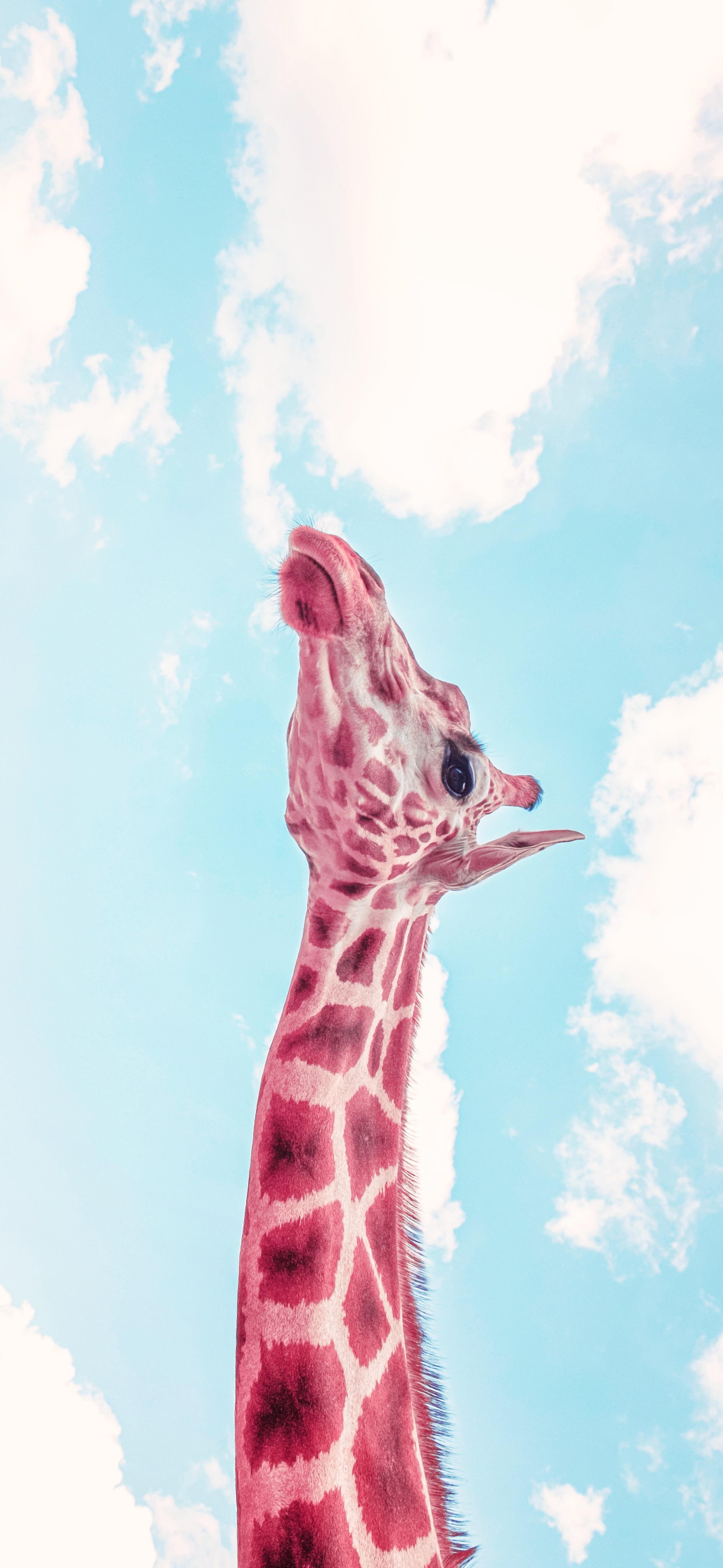 cool-giraffe-under-blue-sky-wallpaper
