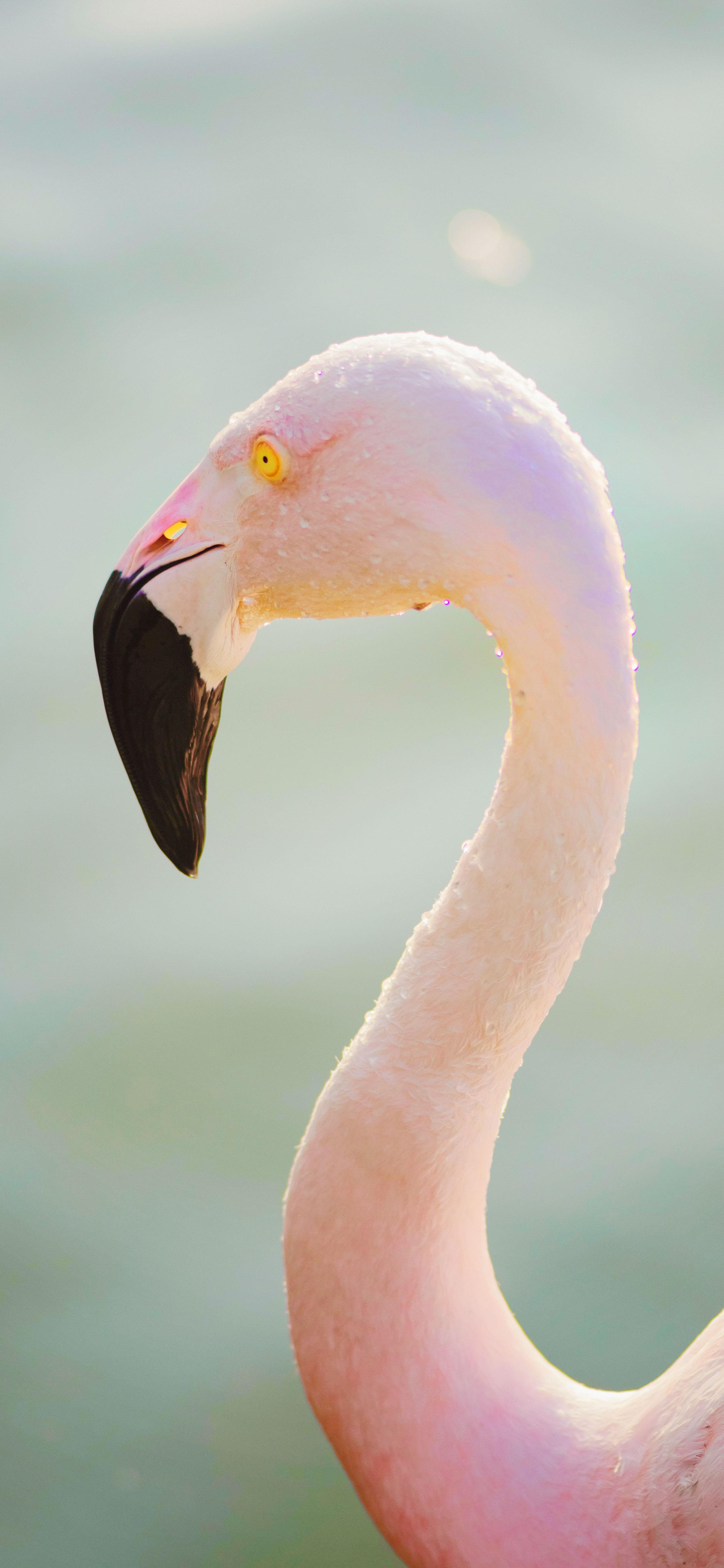 aesthetic-pink-flamingo-in-water-during-daytime-wallpaper